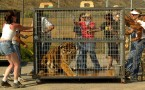 Tiger 'Harry' is being pushed out in a cage for transportation from Tiger Resuce facility in Colton