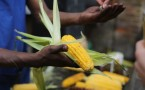 Corn Is A Popular Component of a Gluten-Free Diet