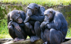 Three female chimpanzees nod-off as they